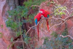 Красные и зеленые ары, Ara Chloropterus, Buraco Das Araras, около пеламиды, Pantanal, Бразилия стоковое изображение