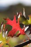 Красные и зеленые листья дуба осени Стоковые Изображения