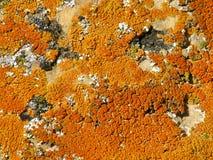 Красные и оранжевые лишайники на утесе в пустыне Колорадо стоковые фотографии rf