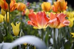 Красные и оранжевые тюльпаны цвести весной стоковые изображения rf