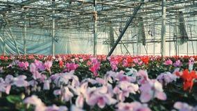 Красные и розовые цветки cyclamen растут в баках в парнике акции видеоматериалы