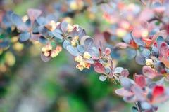 Красные и синие листья барбариса куста Стоковые Фотографии RF