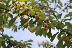 Красные и сладостные вишни на ветви Стоковое Фото