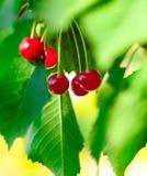 Красные и сладостные зрелые вишни на ветви с листьями в лете Стоковые Изображения