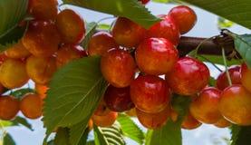 Красные и сладостные вишни на ветви Стоковые Фото