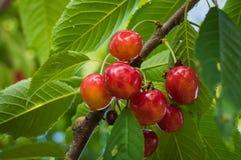 Красные и сладостные вишни на ветви Стоковая Фотография