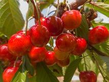 Красные и сладостные вишни на ветви Стоковая Фотография RF