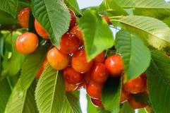 Красные и сладостные вишни на ветви Стоковые Изображения RF