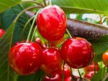 Красные и сладостные вишни на ветви Стоковое Изображение RF