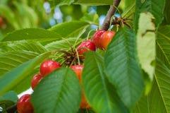Красные и сладостные вишни на ветви Стоковое фото RF