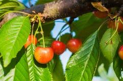 Красные и сладостные вишни на ветви Стоковые Фотографии RF