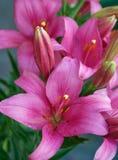 Красные и фиолетовые лилии Стоковая Фотография