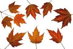 Красные кленовые листы в падении Стоковое Изображение