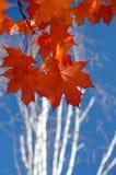 Красные кленовые листы и белые березы - 1 Стоковое Изображение