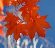 Красные кленовые листы и белые березы - 2 Стоковое Изображение RF