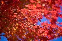 Красные кленовые листы осени с мягким фокусом красного разрешения и голубого неба Стоковые Изображения RF