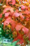 Красные кленовые листы Стоковая Фотография RF