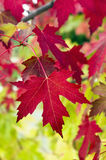 Красные кленовые листы Стоковая Фотография