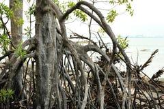 Красные корни мангровы стоковые фото