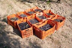 Красные коробки заполненные с оливками на том основании Стоковое Фото
