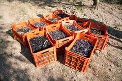 Красные коробки заполненные с оливками на том основании Стоковая Фотография