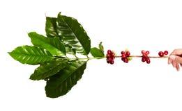 Красные кофейные зерна на ветви дерева кофе при кофейные зерна листьев, зрелых и незрелых изолированные на белой предпосылке Стоковое Изображение