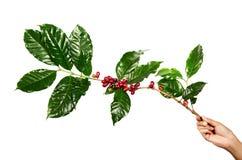 Красные кофейные зерна на ветви дерева кофе при кофейные зерна листьев, зрелых и незрелых изолированные на белой предпосылке Стоковая Фотография RF