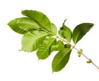 Красные кофейные зерна на ветви дерева кофе при кофейные зерна листьев, зрелых и незрелых изолированные на белой предпосылке Стоковое Фото