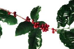 Красные кофейные зерна на ветви дерева кофе при кофейные зерна листьев, зрелых и незрелых изолированные на белой предпосылке Стоковые Изображения