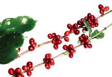 Красные кофейные зерна на ветви дерева кофе при кофейные зерна листьев, зрелых и незрелых изолированные на белой предпосылке Стоковая Фотография