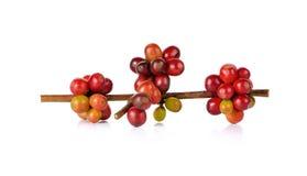Красные кофейные зерна на ветви дерева кофе на белой предпосылке Стоковое Изображение RF