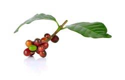Красные кофейные зерна на ветви дерева кофе на белой предпосылке Стоковое Фото