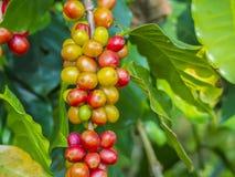 Красные кофейные зерна на ветви ber дерева кофе, зрелых и незрелых Стоковое фото RF