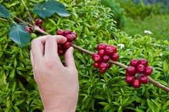 Красные кофейные зерна ягод на руке агронома стоковое фото rf
