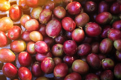 Красные кофейные зерна, стоковое фото