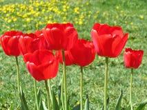 Красные красивые цветки тюльпана Стоковые Изображения RF