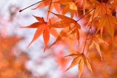 Красные кленовые листы в осени Стоковые Фотографии RF