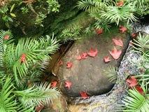 Красные кленовые листы в парке нации Таиланда Стоковая Фотография RF