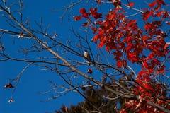 Красные кленовые листы и воробей Стоковое Фото