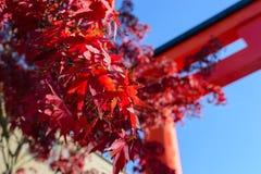Красные кленовые листы на Японии с предпосылкой святыни и голубым небом Стоковые Изображения