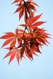 Красные кленовые листы стоковые изображения rf