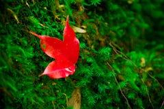 Красные кленовые листы приближают к водопаду стоковое изображение rf