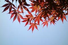 Красные кленовые листы стоковые фотографии rf