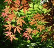 Красные кленовые листы стоковое фото rf