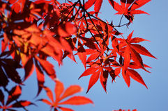 Красные кленовые листы Стоковые Фото
