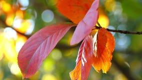 Красные листья блеска осени девичьего в лучах солнца Красивые предпосылка и ландшафт сток-видео