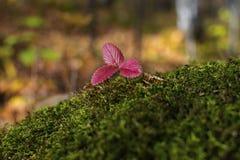 Красные листья клубники в лесе осени стоковое фото rf