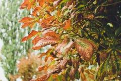 Красные листья осени каштана Осень в городе Стоковые Изображения RF