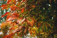 Красные листья осени каштана Стоковые Фотографии RF