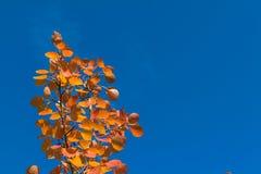 красные листья осины осени против неба Стоковое Изображение